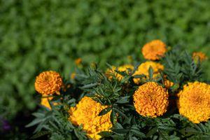 orange marigolds glow in sun with green yard in background
