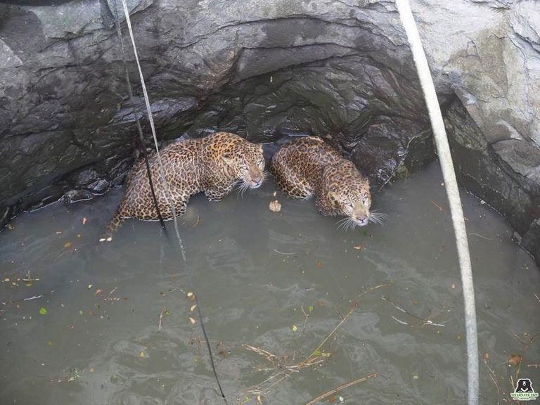 Una pelea entre leopardos llega a su fin cuando caen en un pozo de 50 pies