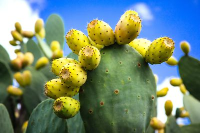 Prickly pear cactus leaves and fruit