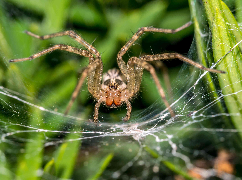 Tegenaria domestica spider in web