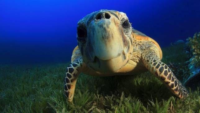 Rebote de tortugas marinas en peligro crítico en Nicaragua
