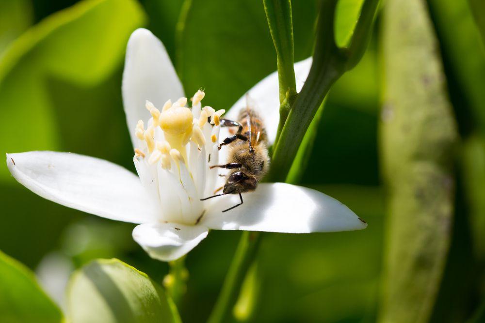 bee pollinating lemon flower