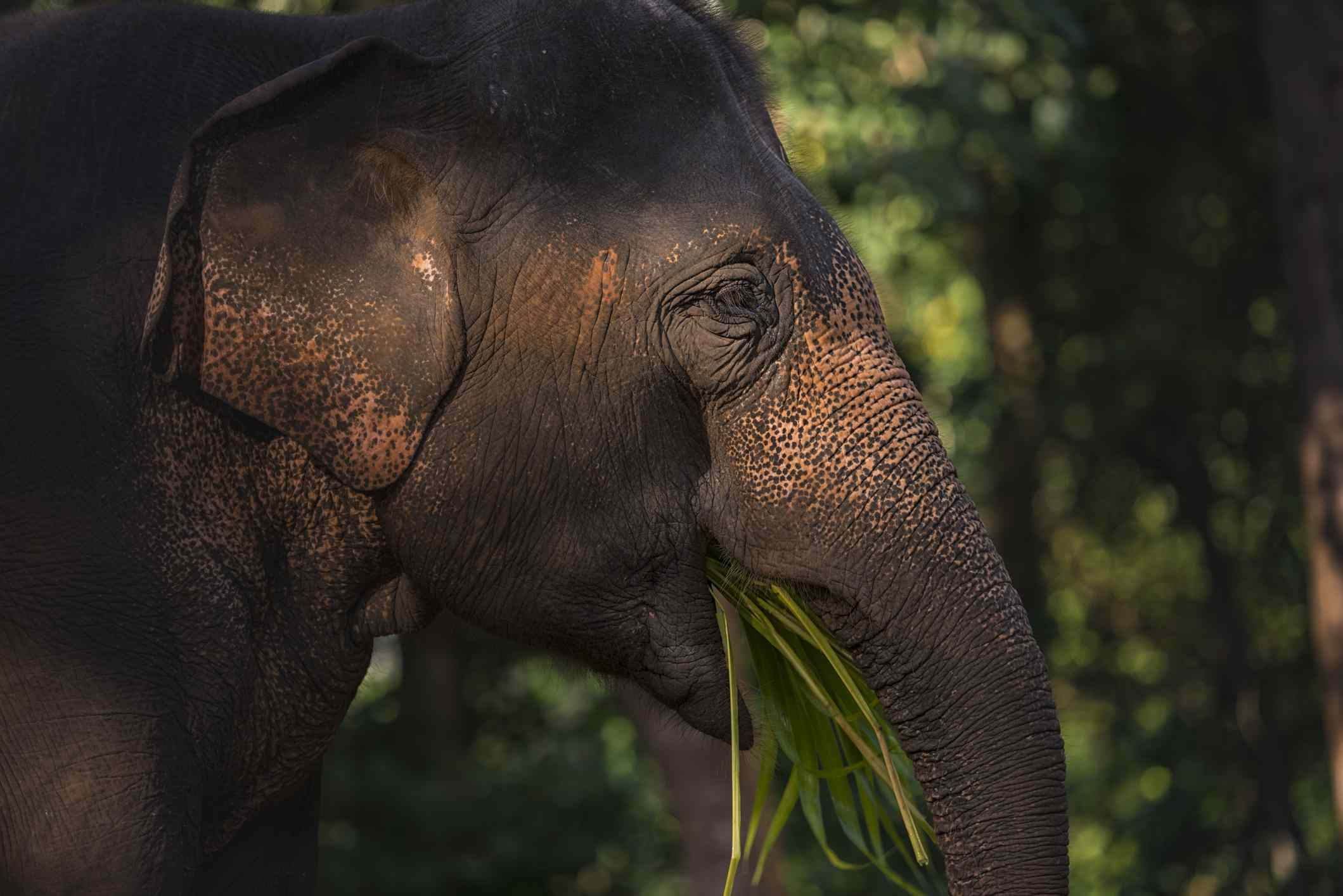 An Asian elephant in Chaing Man,Thailand