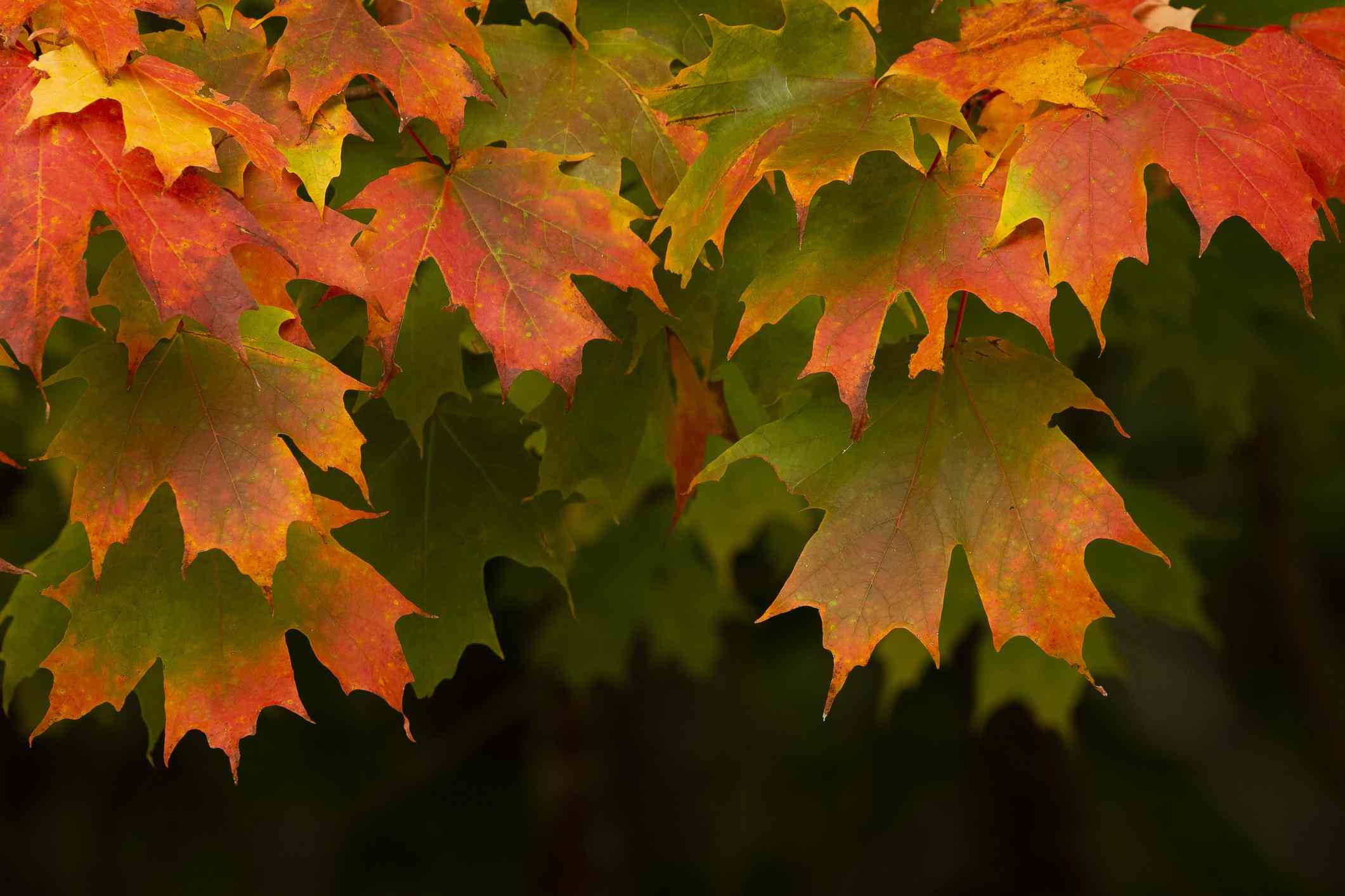 Sugar Maple tree leaves turning red.