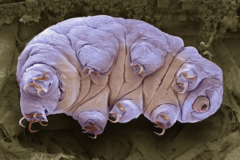 tardigrade, also known as water bear