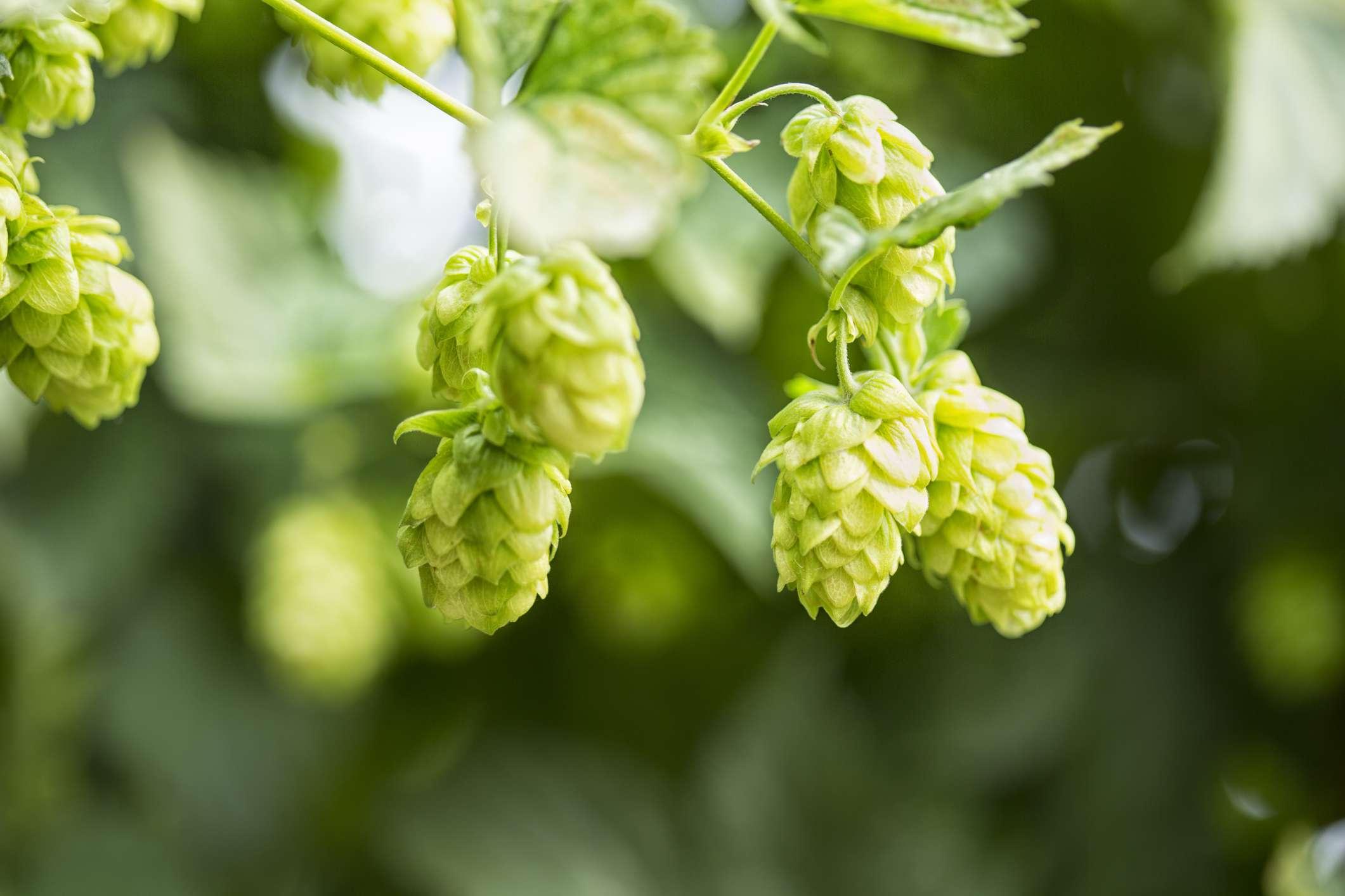 Hop cone, Humulus lupulus