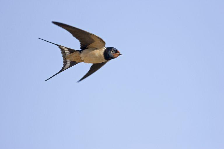 ¿Por qué ese pájaro te está bombardeando en picado?