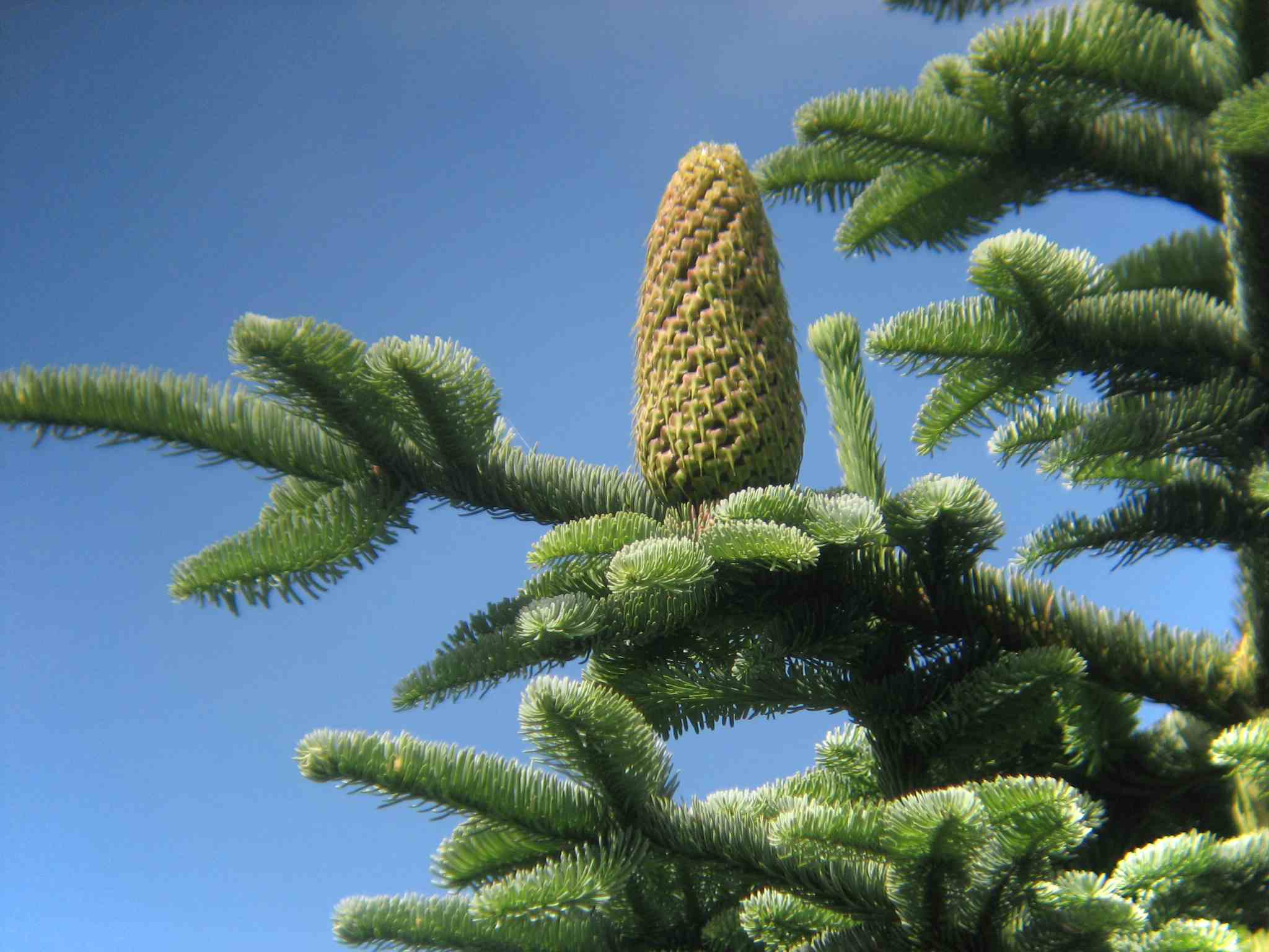 Noble fir tree cone