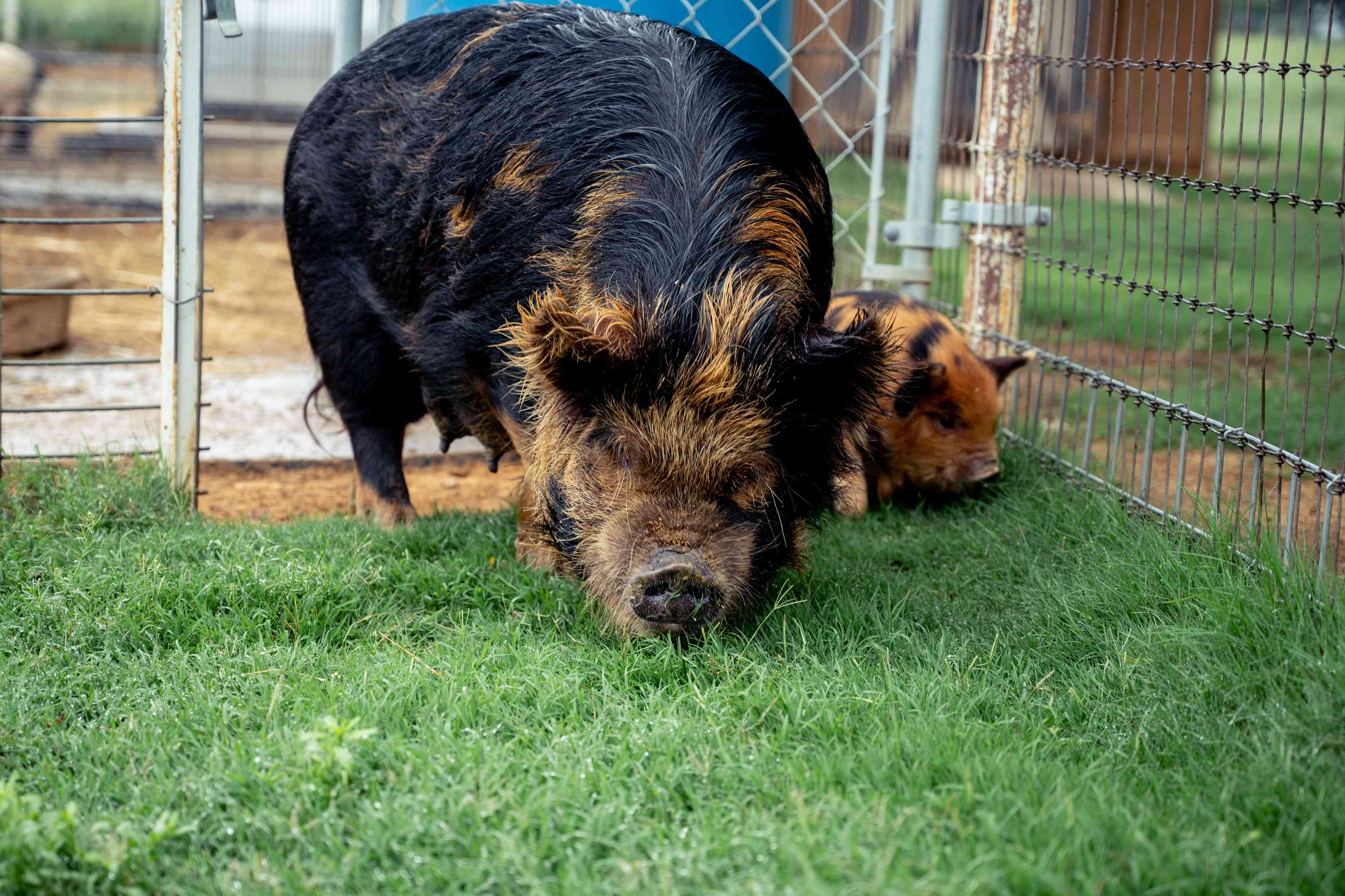long-haired brindle pig with baby sniff the grass in small wire pen