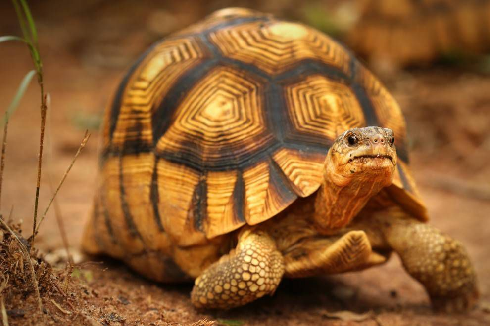 Ploughshare tortoise with a patterned, high-domed shell
