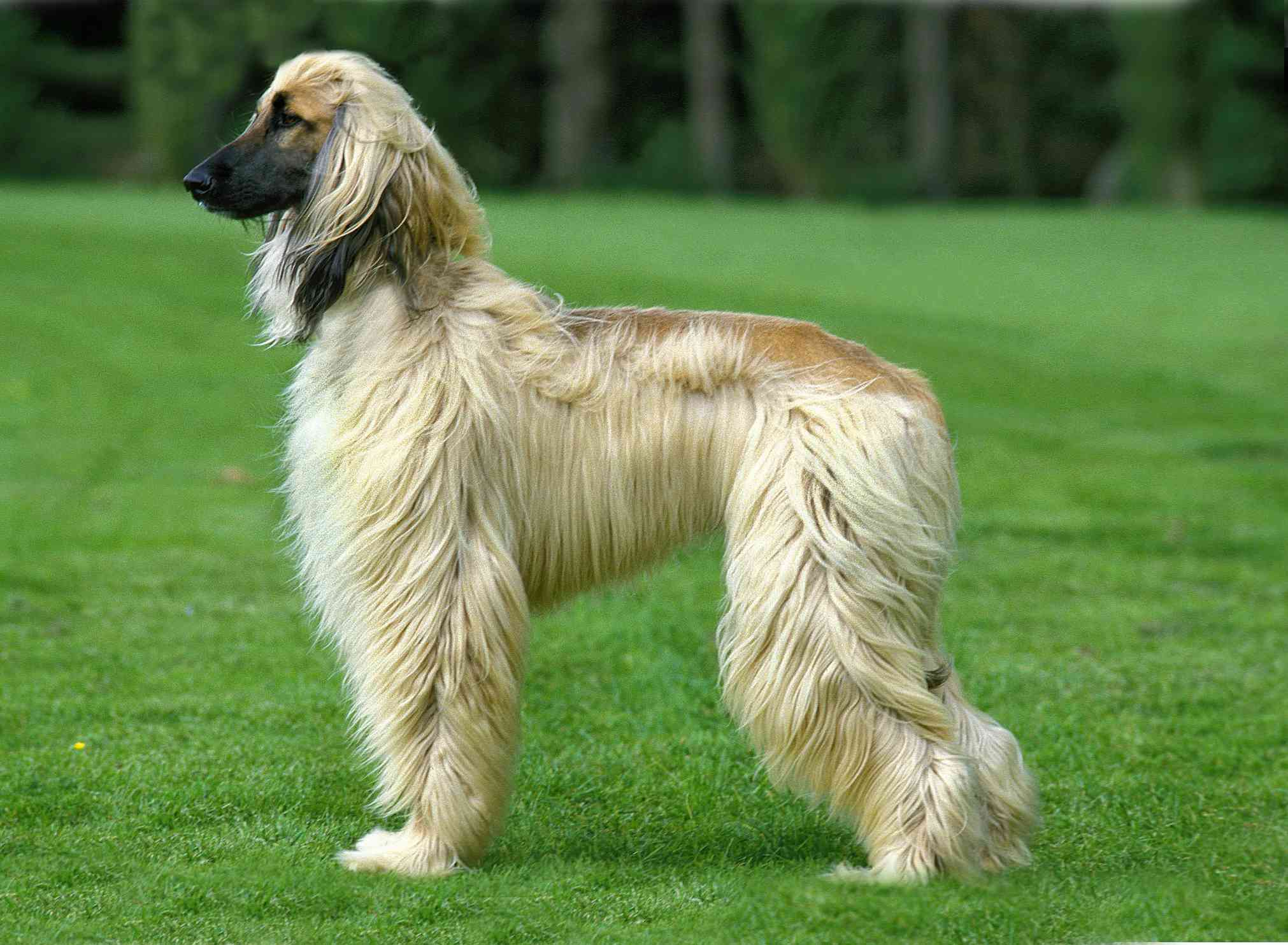 side view of tan and brown Afghan hound standing on green grass