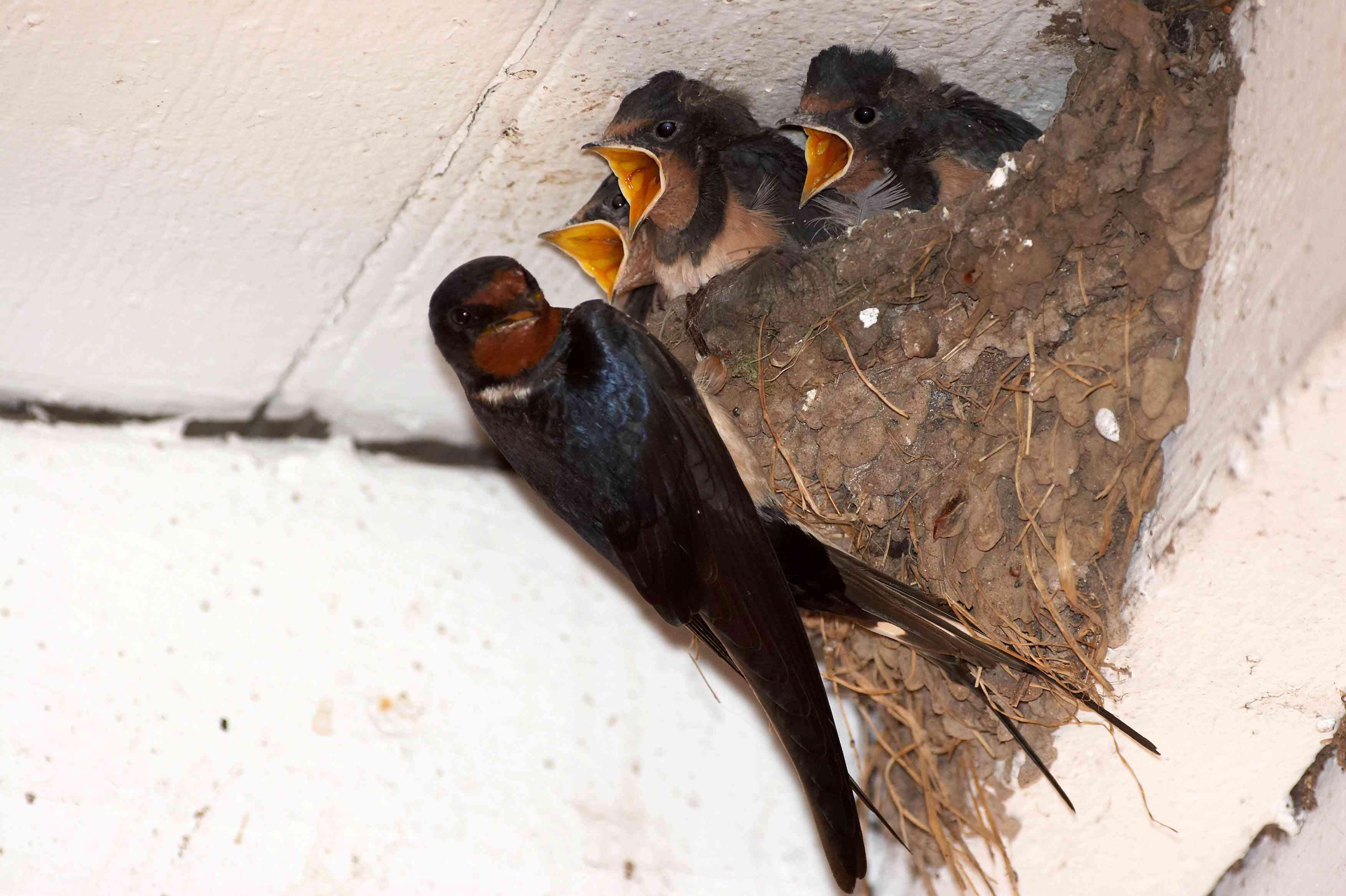 Barn swallow feeds baby birds in a nest