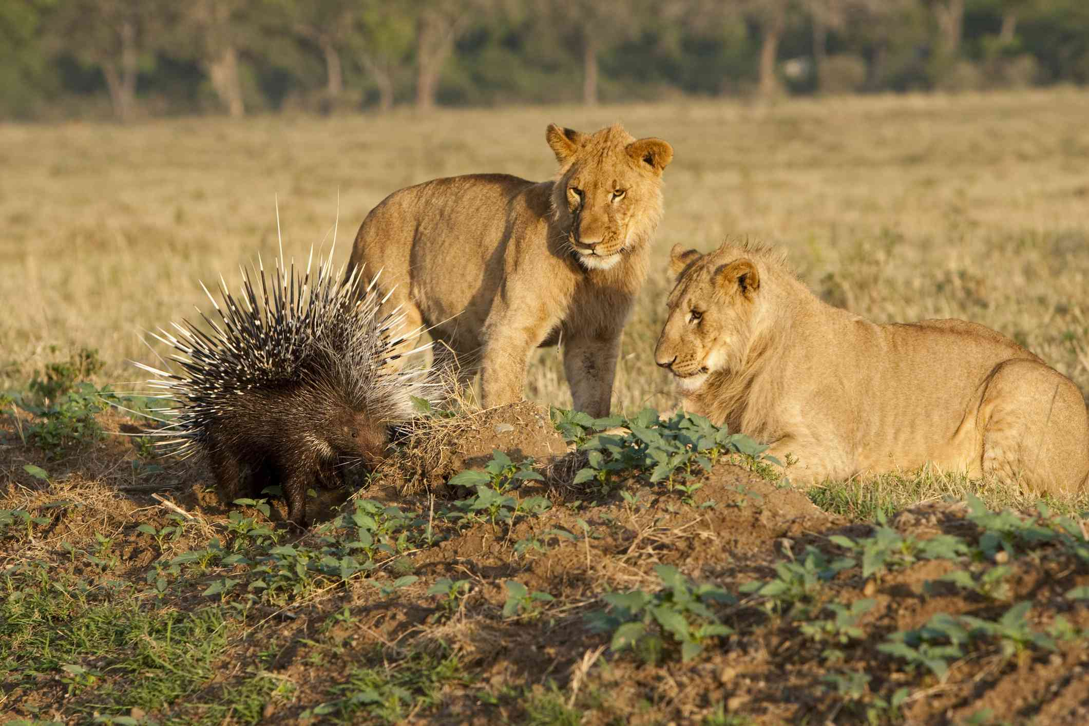 Two lions look at a porcupine