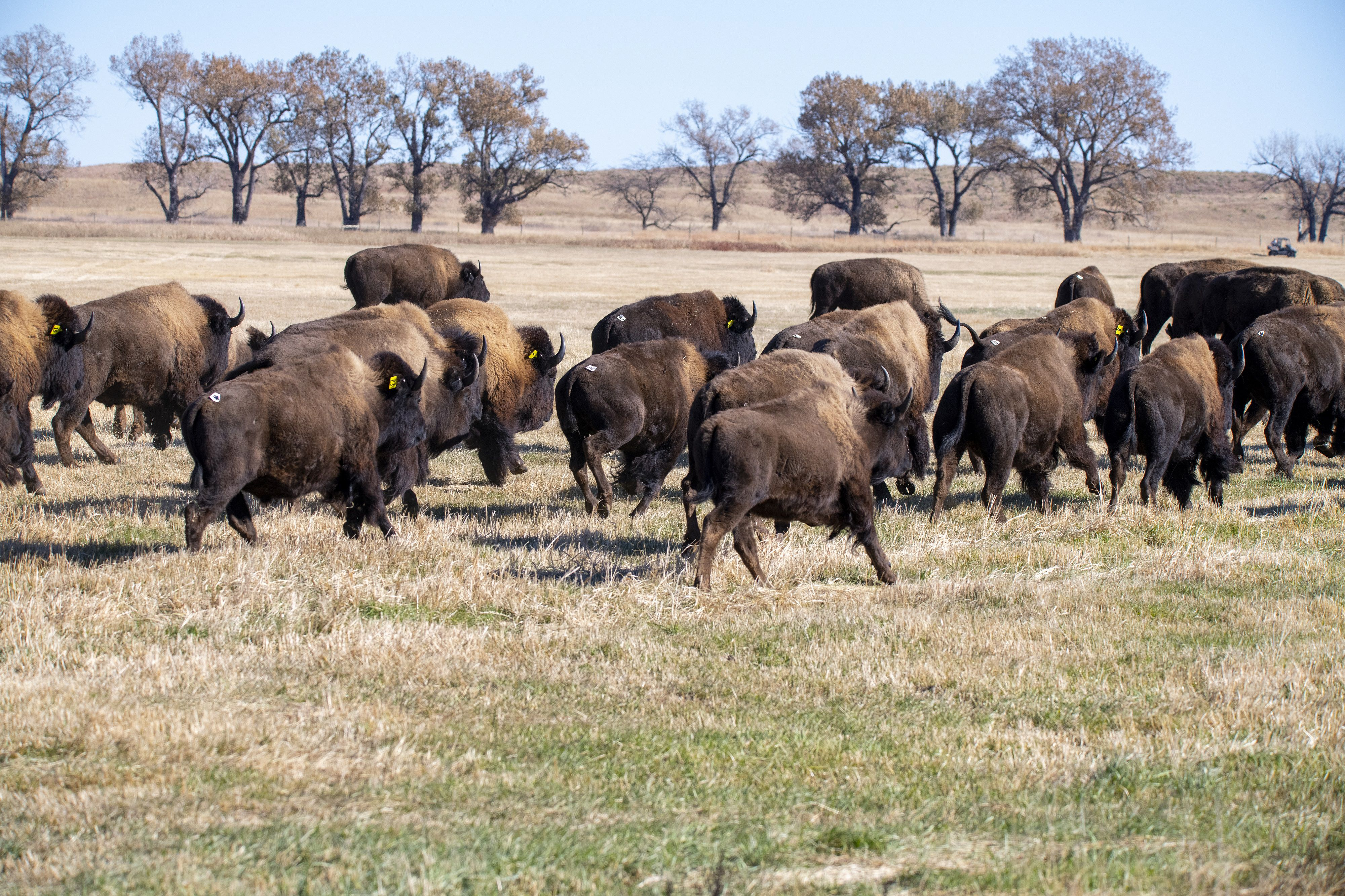 100 Bison Released on Tribal Land in South Dakota