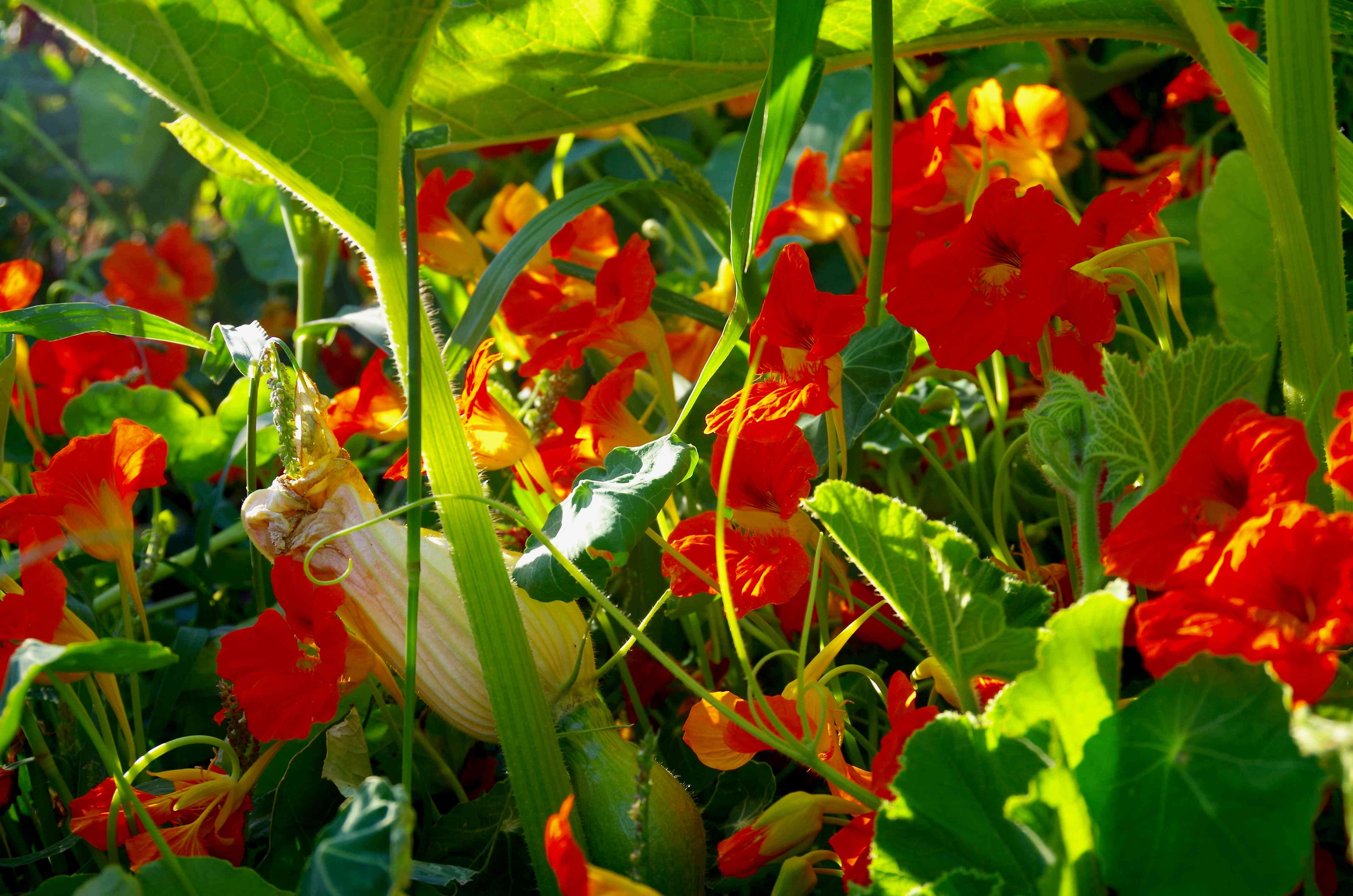 squash and nasturium planted together in a garden