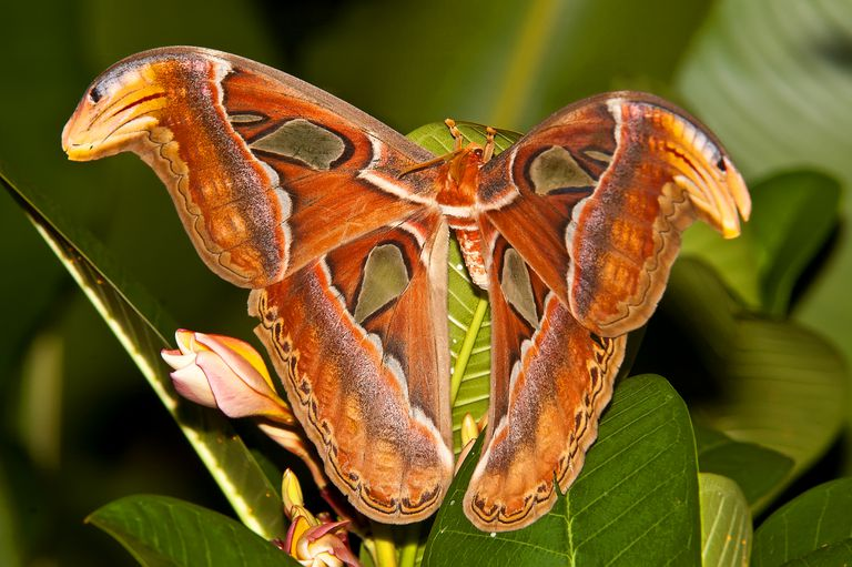 An orange and brown atlas butterfly on a green plant