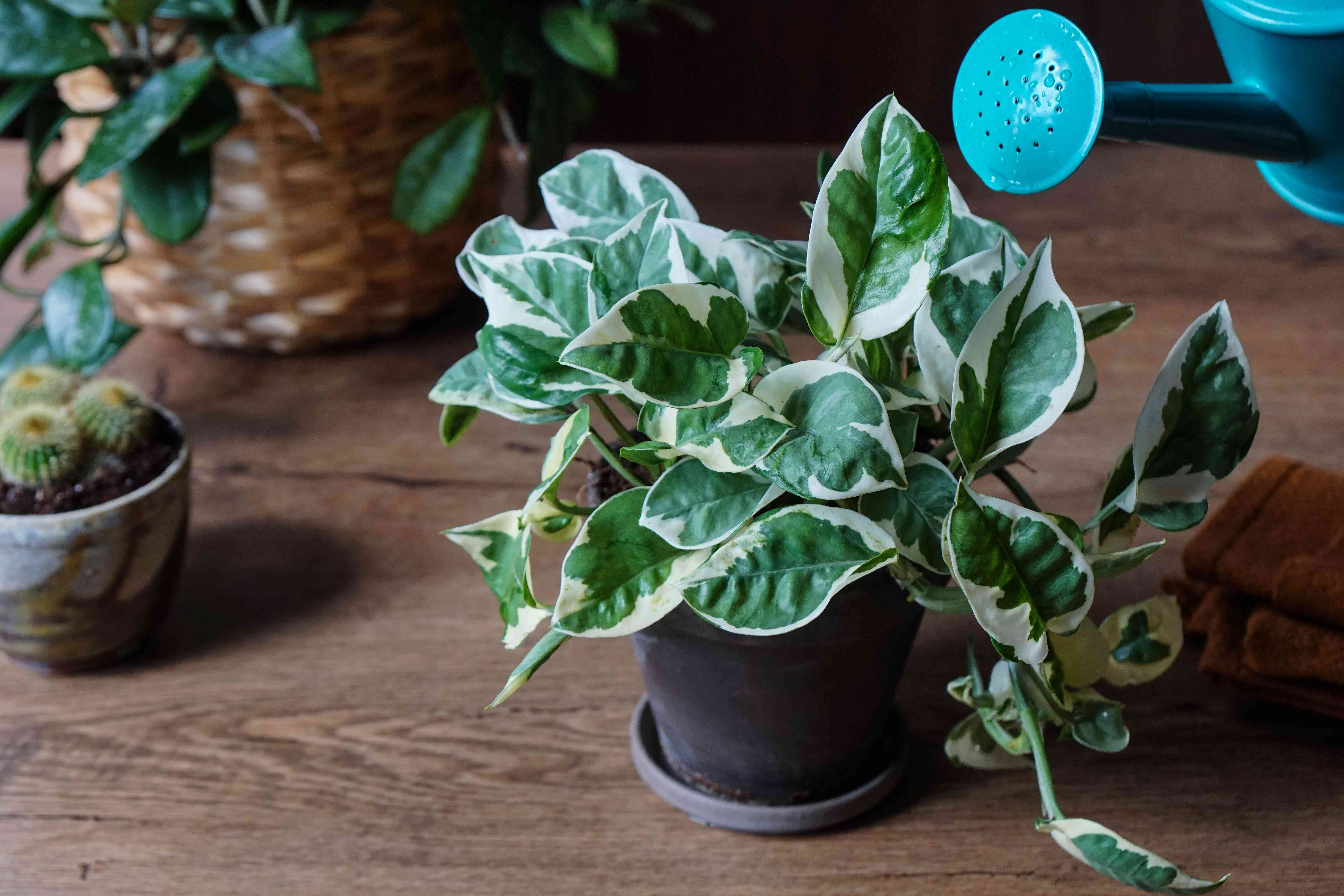 blue metal can used to water white and green pothos house plant