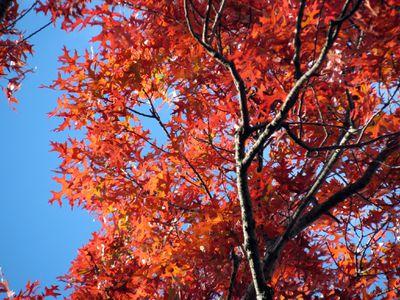 A Scarlet Oak tree against a blue sky.