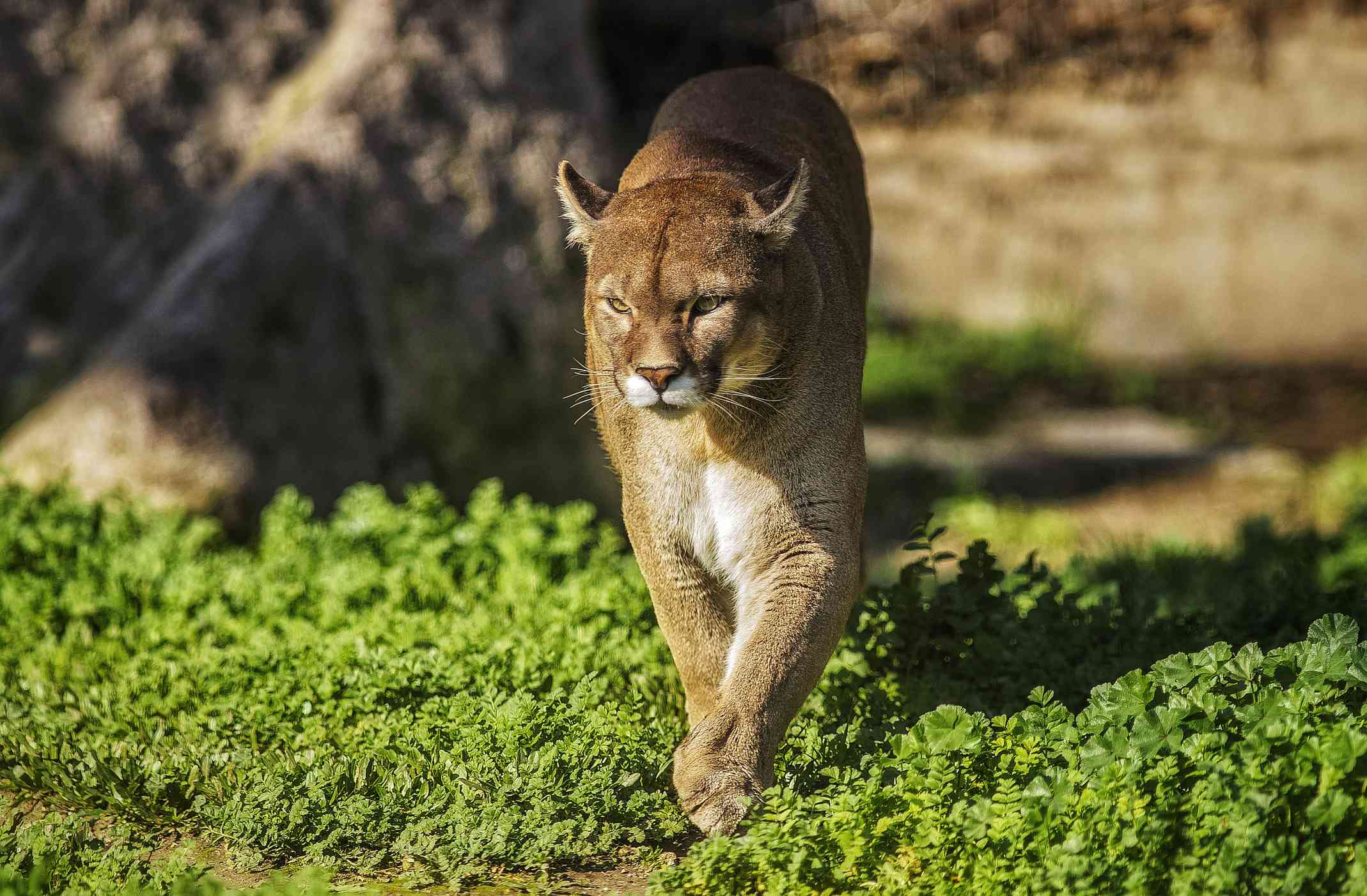 A Puma in Patagonia, southern Argentina