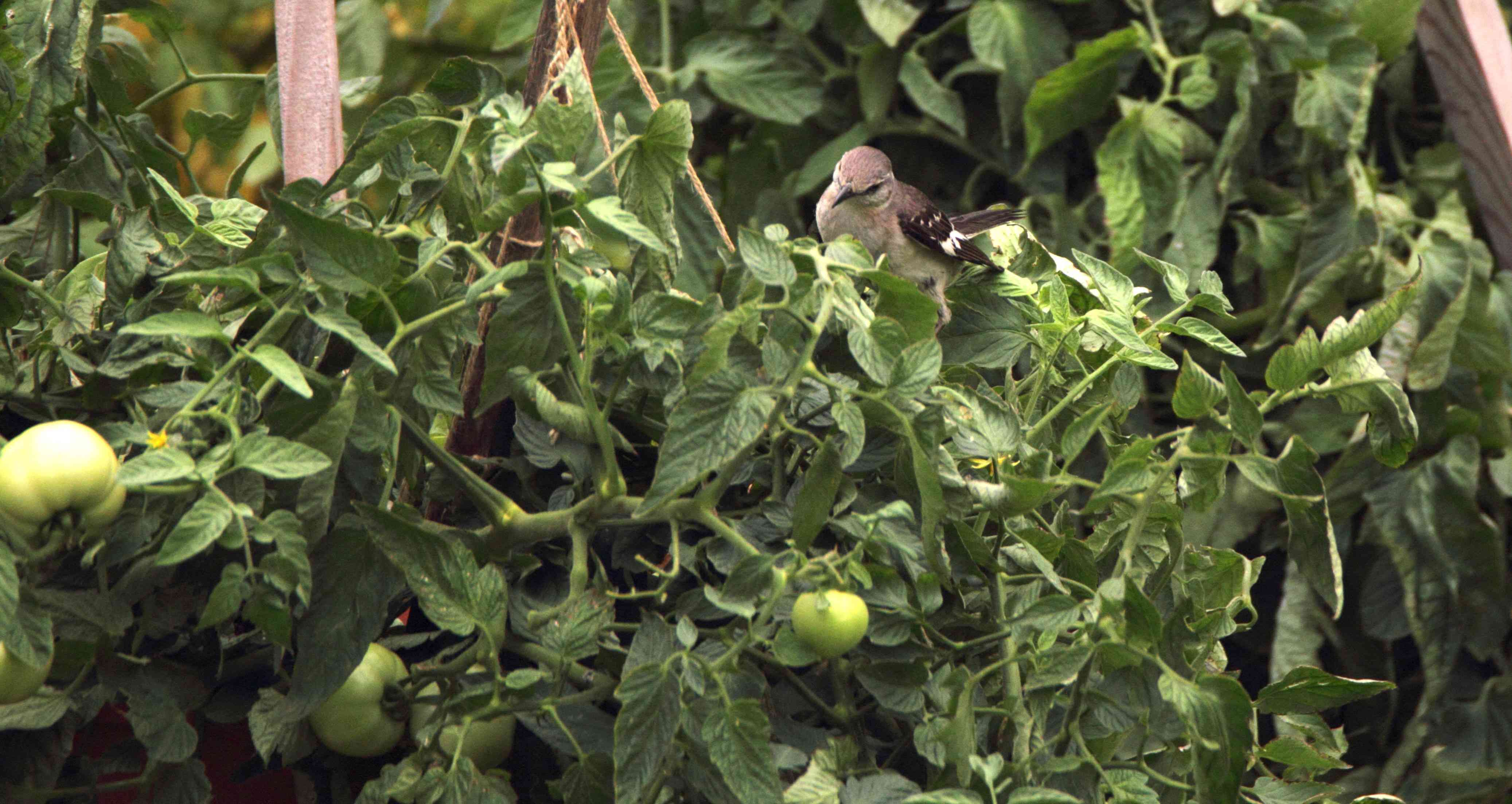 northern mockingbird in a garden on tomatoes