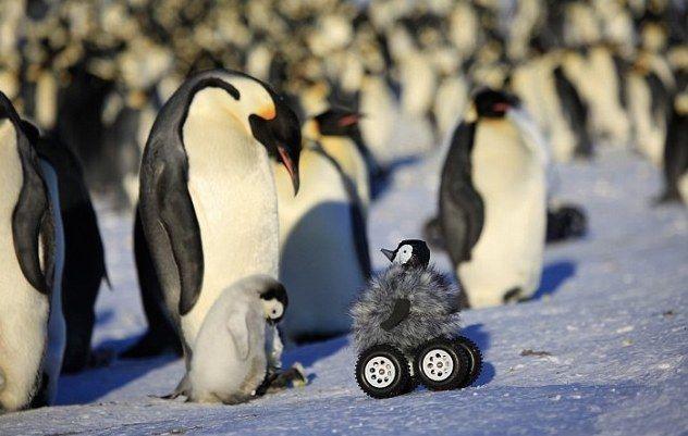 Penguin Rover controla a los pingüinos etiquetados y los mantiene tranquilos
