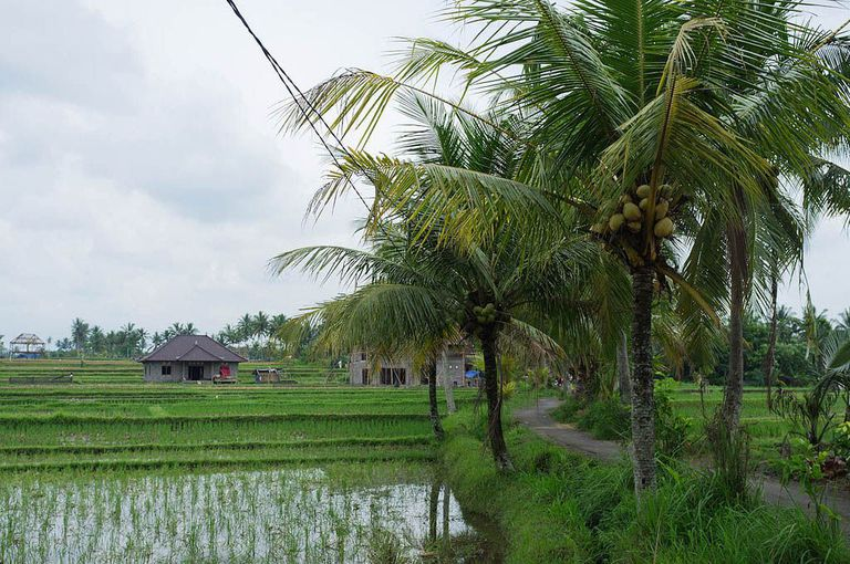 rice field bali ubud photo