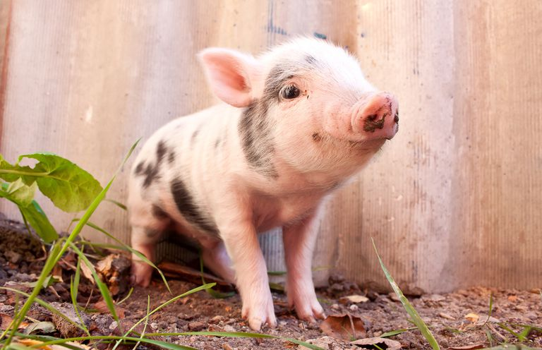 pink baby piglet with black spots
