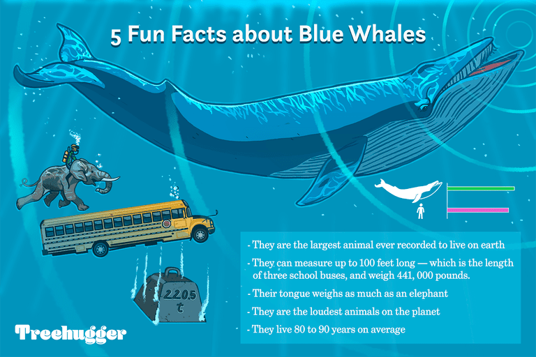 color illustration showing facts about blue whales largest animal on earth