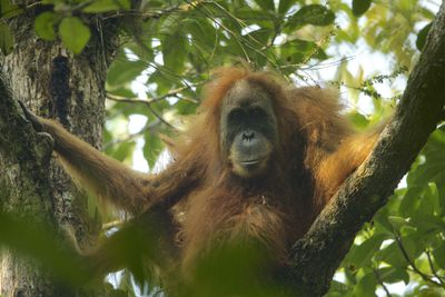 Female Tapanuli orangutan sitting on a tree branch