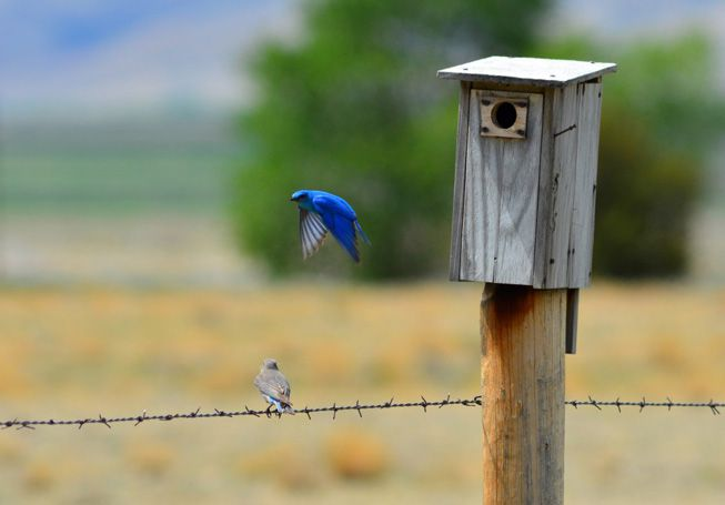 A mountain bluebird sits on a wire and a mountain bluebird flies out from a nest box
