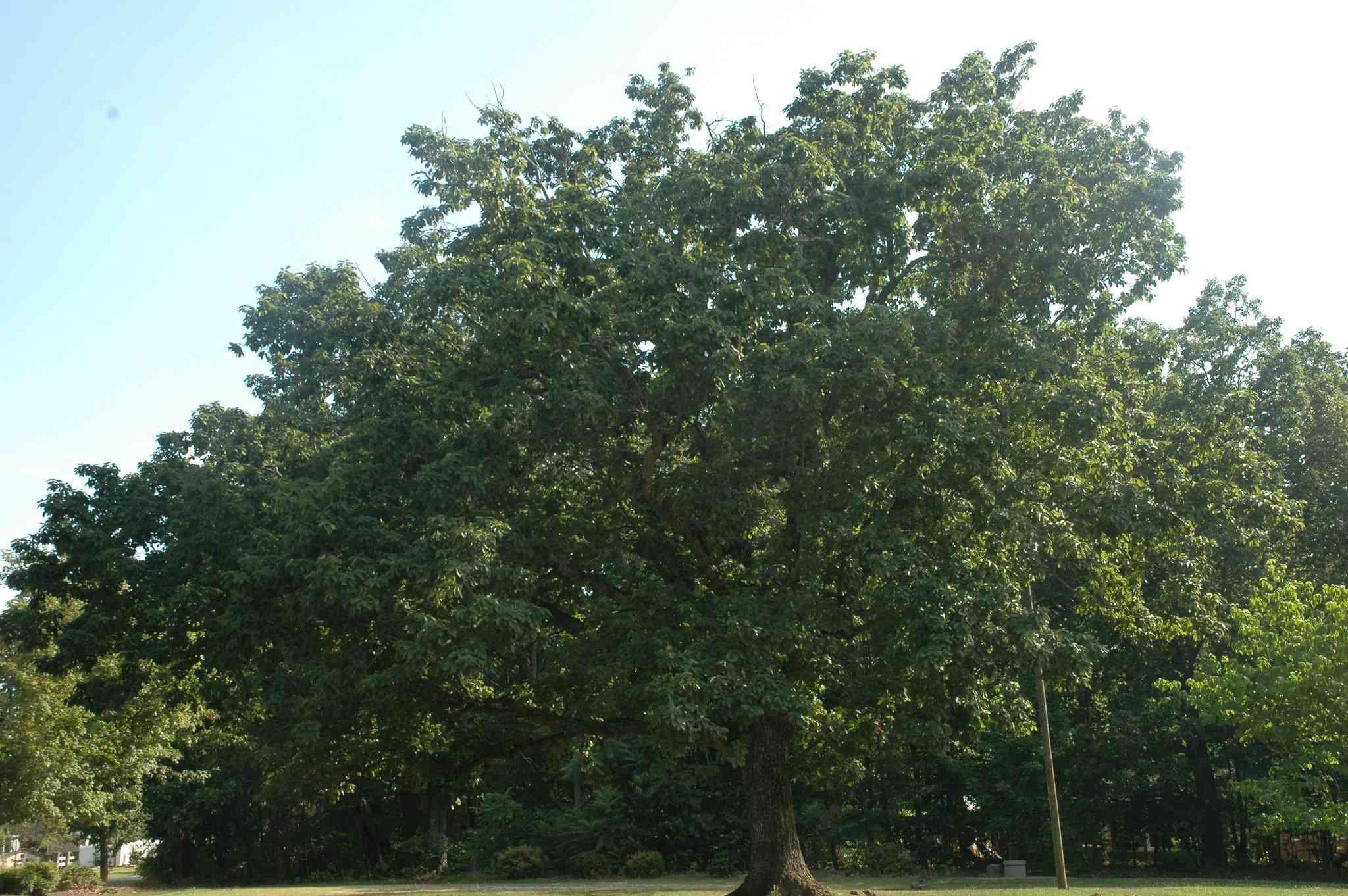 A large Chestnut Oak in a park.