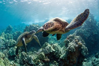 two brown sea turtles swim over coral in the blue ocean