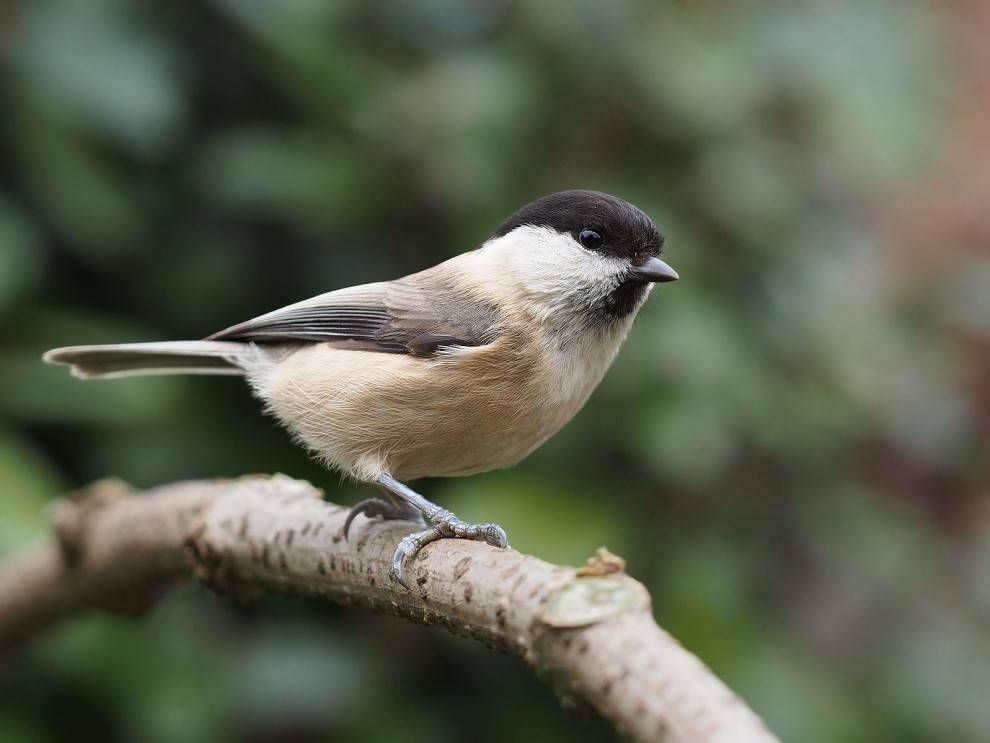 Willow Tit, a species of bird that has suffered a dramatic population decline over the past thirty years across Europe, and esp in Britain where it is an RSPB 'red status' bird. This image shows features that may differentiate it from the similar, but more common, Marsh Tit Poecile palustris: sooty cap, untidy bib, pale wing panel, larger white cheek, lack of pale patch on upper mandible. A definitive ID is usually obtained from its call.