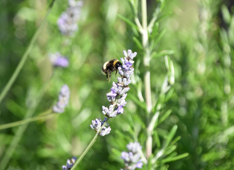 Landing On The Lavender