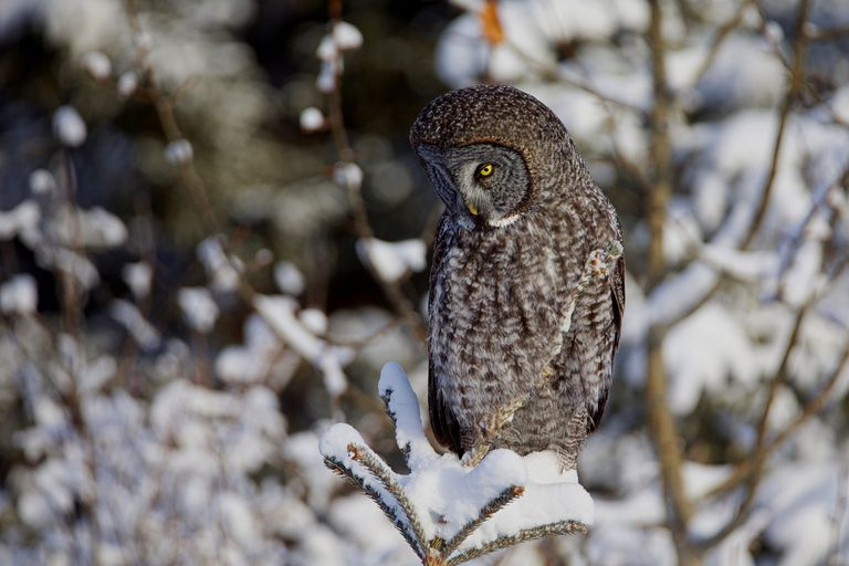 A great gray owl in Alberta, Canada