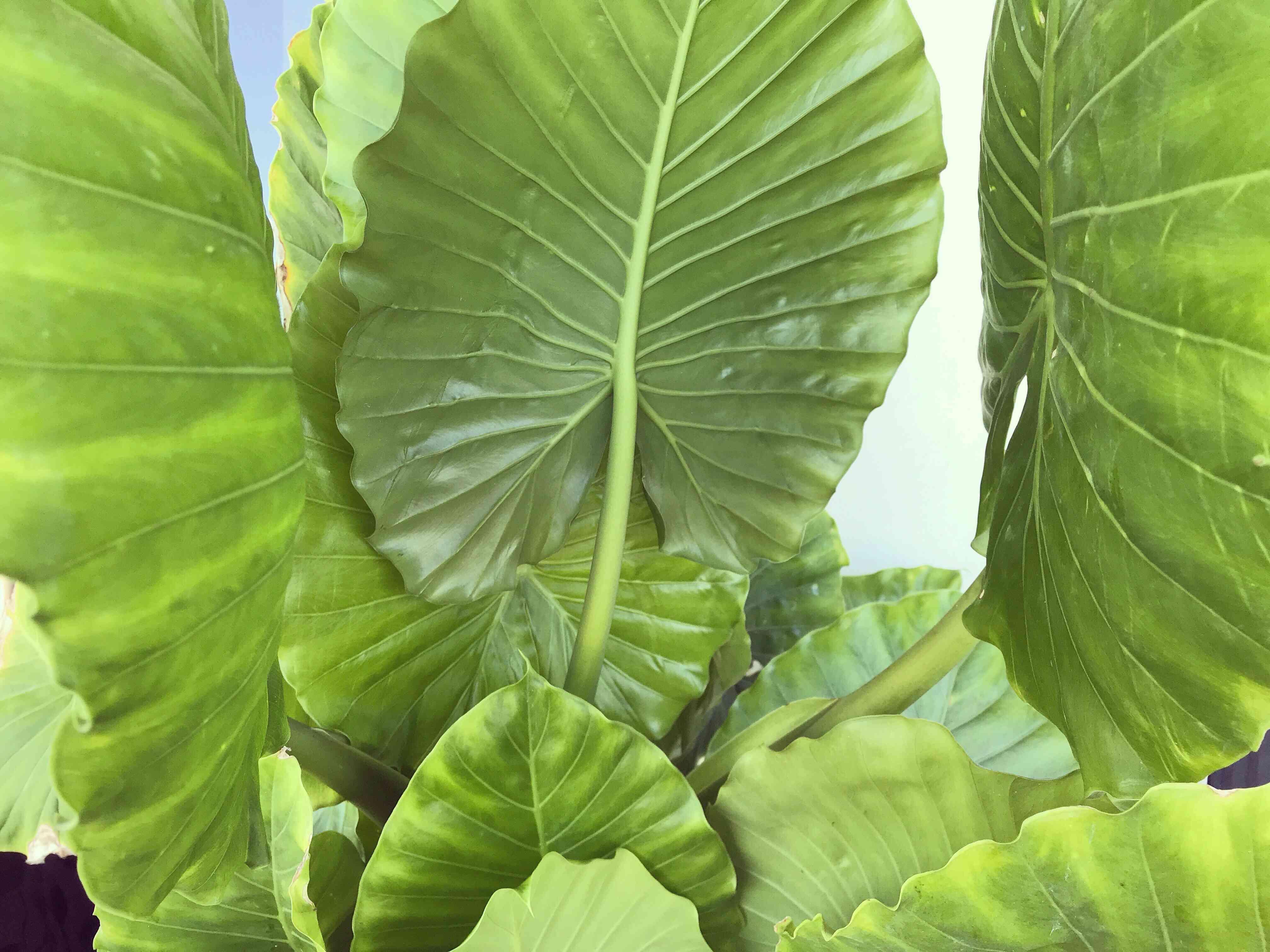 Tropical Plant Alocasia Odora or Elephant Ear