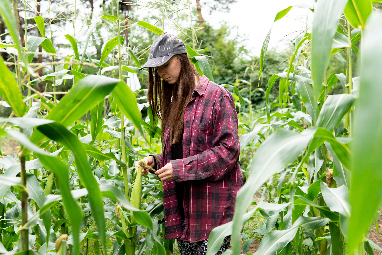 farmer inspects corn in a large cornfield