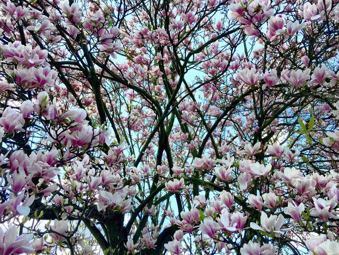 Magnolia Tree Covered In Blossom