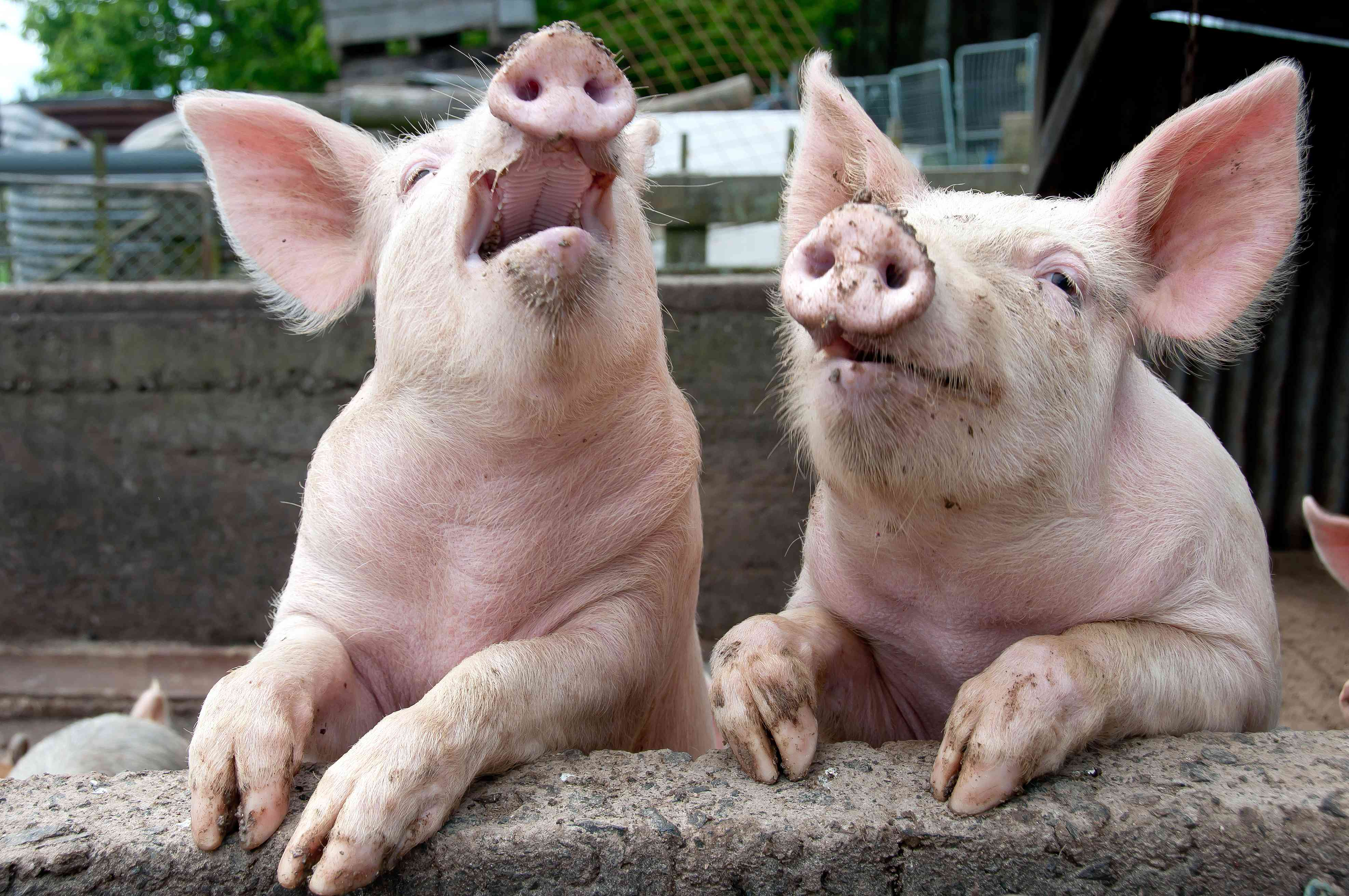 Millions of pigs dying from virus