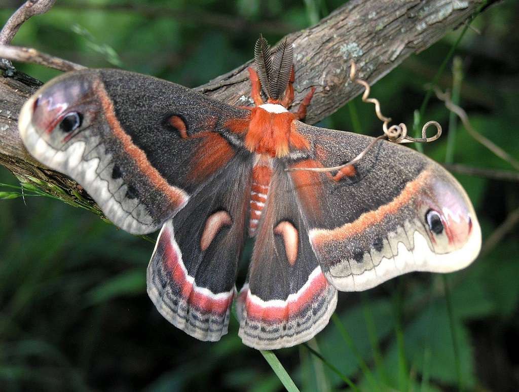cecropia moth with a bright red body and gray, red, and white wings on a stem with green plants in the distance