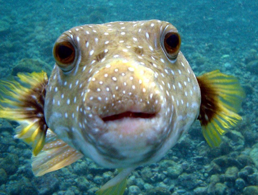 polka dotted pufferfish swimming in ocean