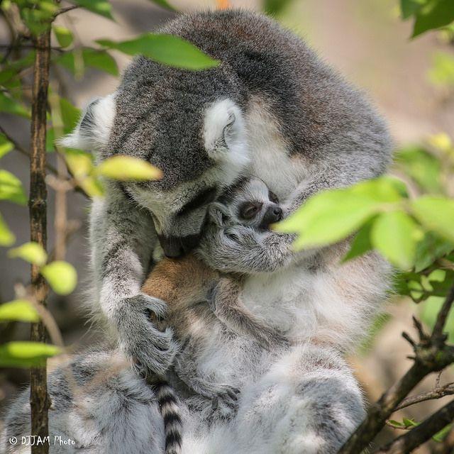Está lloviendo lémures bebés en el zoológico de Cincinnati