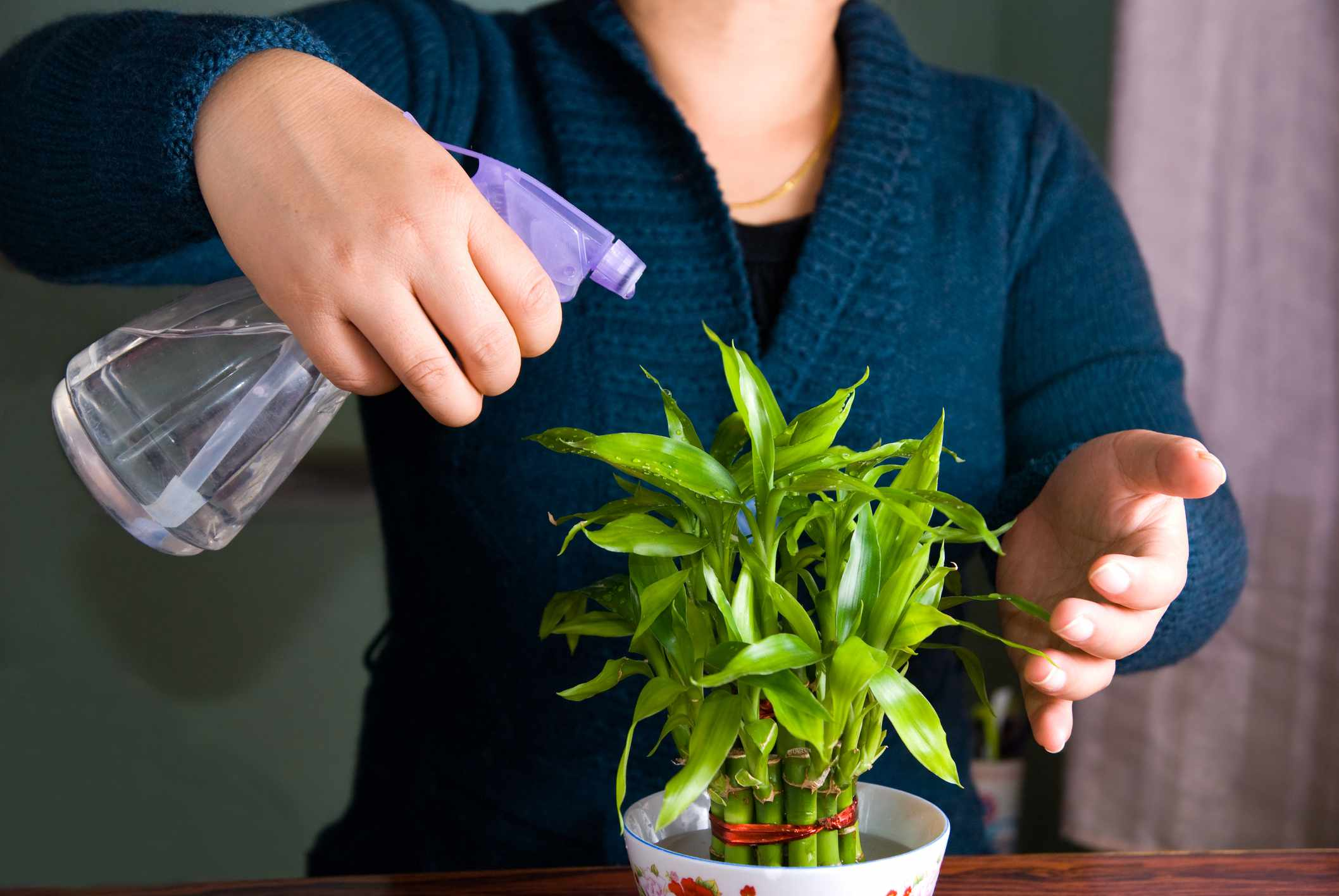 Person misting lucky bamboo plant