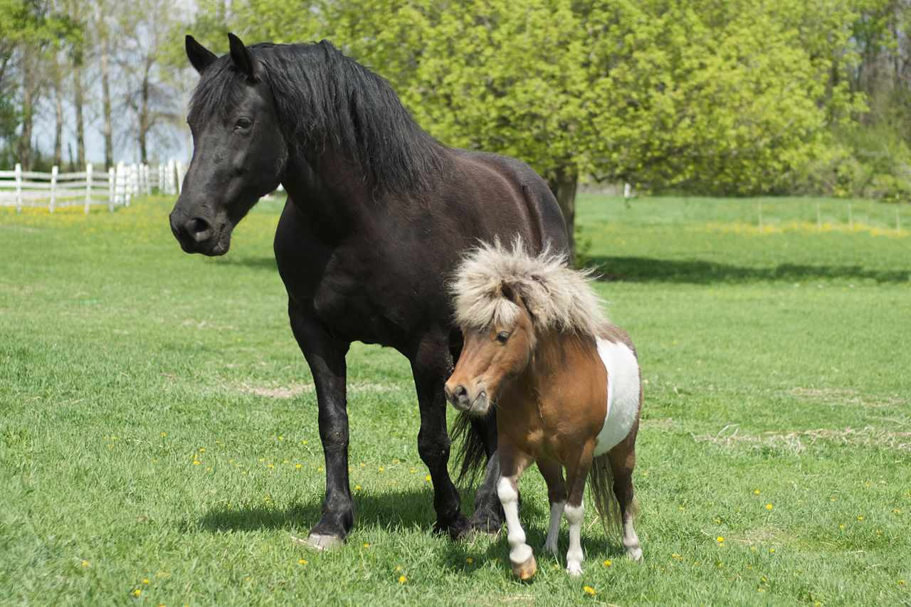 Why Miniature Horses Make Such Great Service Animals