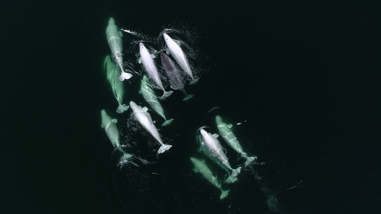 A narwhal swims with beluga whales.