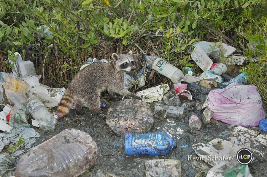 pygmy raccoon sorts through human trash