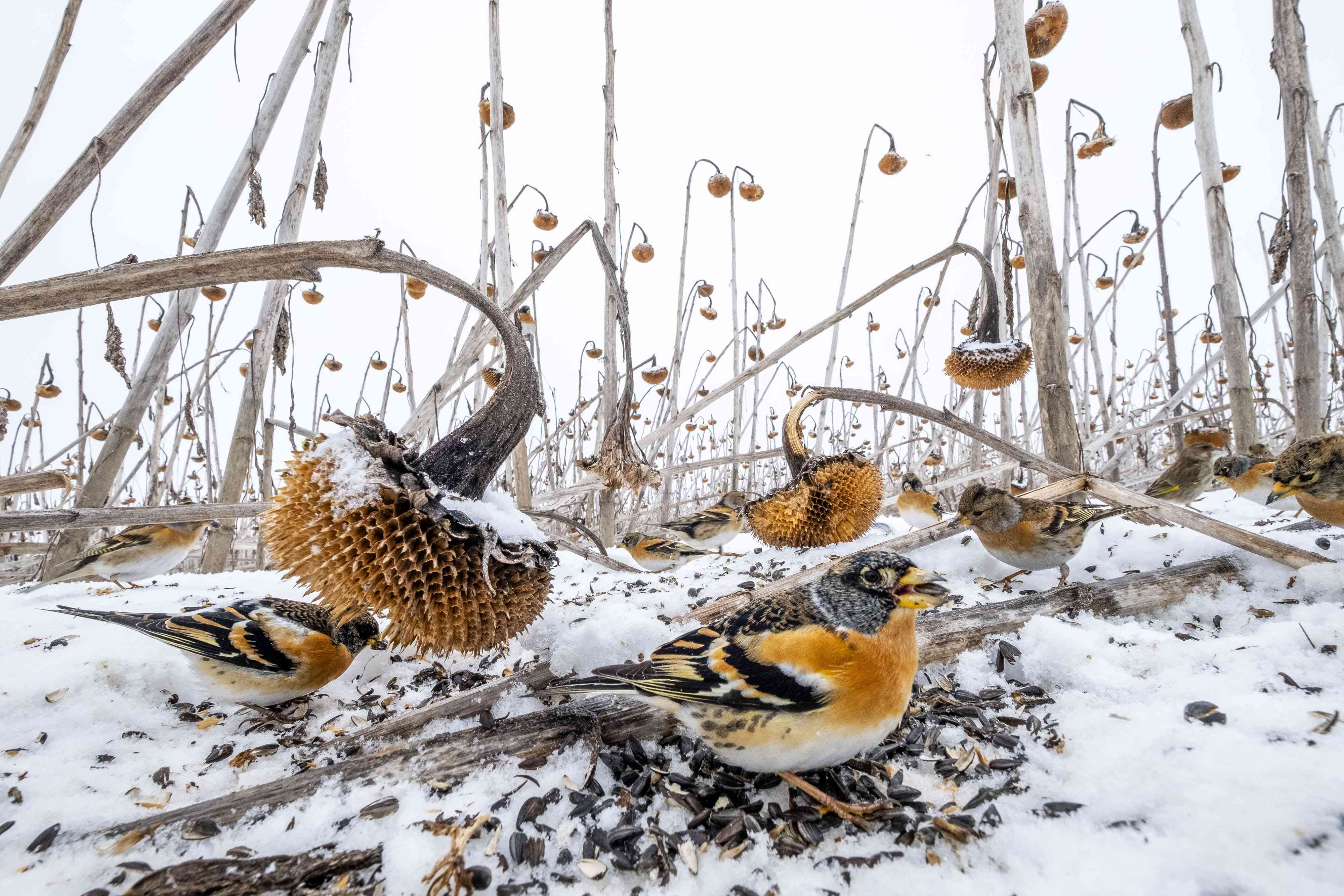 birds in winter sunflowers