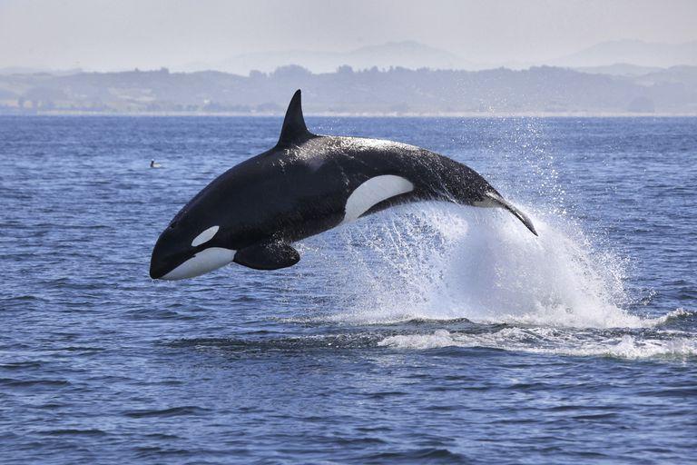 Ver orcas en nuevas cámaras web en vivo