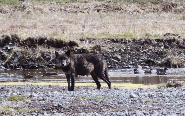 Fans lloran al famoso lobo de Yellowstone asesinado por Trophy Hunter