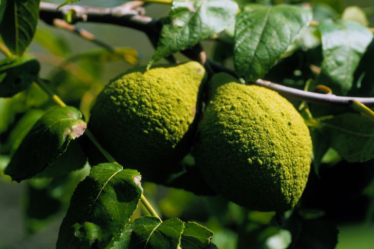 Close up of Juglans nigra (Black Walnut) fruit